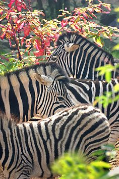 Zebra // Flickr hvhe 1