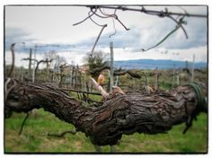 Umbria - happy first day of Spring - bud on a grapevine - www.ciutravel.com