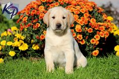 Titus – Labrador Retriever – Yellow Puppies for Sale in PA   Keystone Puppies