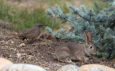 Bunny and friend: Brush rabbit (Sylvilagus bachmani) and thasher (Toxostoma redivivum), Atascadero, California.