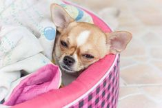 #Chihuahuas love warm laundry to nap in...Click here to see this cutie>>> http://www.fundogpics.com/cute-napping-puppy-pics.html