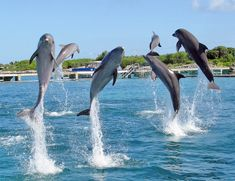 cute dolphins jumping   Dolphin Swimming   Tag Archive   baby dolphins