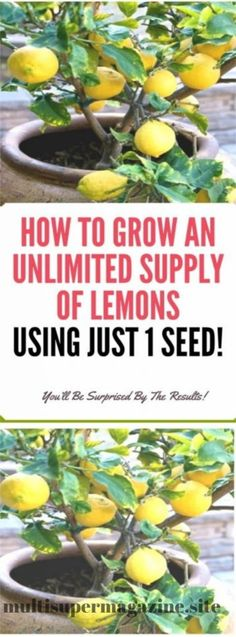 How To Grow An Unlimited Supply Of Lemons Using Just 1 Seed – Multi Magazine
