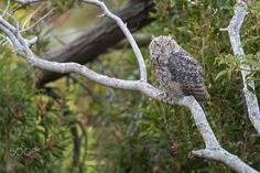 Great-horned Owl (Immature) - A juvenile Great-horned Owl waiting patiently for…