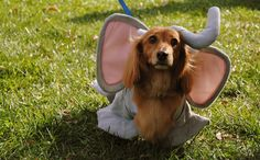 awww... nothing like a dachshund plead to shame you into taking off the cute costume!!