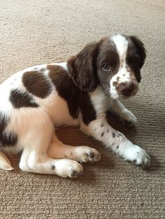 "Check out our site for additional information on ""cocker spaniel puppies"". It is actually a great area for more information. Animals And Pets, Baby Animals, Funny Animals, Cute Animals, Pretty Animals, Springer Spaniel Puppies, English Springer Spaniel, Cocker Spaniel, Cute Dogs And Puppies"