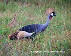 Birds, Cranes Fine Art Photography, Nature Travel Photography, Crowned Cranes,  Blue, Red, Green by PhotosbyJerryCowart on Etsy
