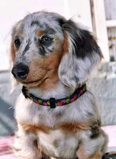 Adorable Marble Coloured Dachshund Dog