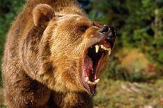 Государственная экологическая инспекция проверила частный зоопарк «Парк Покровского периода» вгороде Покровск Angry Bear, Angry Animals, Animals And Pets, Wild Animals, Baby Animals, Grizzly Bear Drawing, Grizzly Bear Tattoos, Grizzly Bears, Bear Cubs