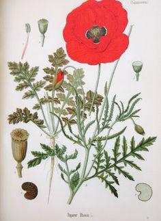 Cravo - Dianthus caryophyllus L. Hera - Hedera helix L. Linho - Linum usitatissimum L. Lírio-cardano - Iris germanica L. ...