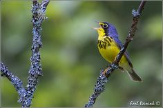 Canada Warbler by Earl Reinink, via Flickr