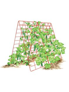 Growing Tomatoes Deluxe Cucumber Trellis - Make the most of climbing plants by providing the right kind of support. Pea Trellis, Clematis Trellis, Tomato Trellis, Cucumber Trellis, Tomato Cages, Tomato Garden, Garden Trellis, Vegetable Garden, Wire Trellis