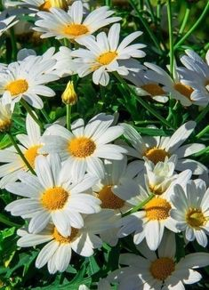 Новости Beautiful Flowers Garden, Pretty Flowers, Beautiful Gardens, June Flower, Bee Friendly Plants, Sunflowers And Daisies, Daisy Love, Fruit Plants, Creative Artwork