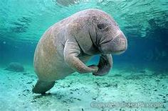 Manatee-i think these are awesome creatures