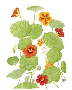 UC Botanical Garden at Berkeley is pleased to announce its fifth annual botanical art exhibition, Plants Illustrated. Saturday, January 18 - Friday, February 7, 10 am - 4 pm.  University of California Botanical Garden at Berkeley,  http://botanicalgarden.berkeley.edu/  Credit: Nasturtium by Bonnie Bonner