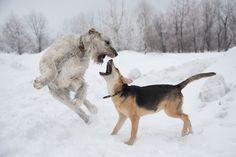 fuckyesirishwolfhounds:hounddogsrunning:Clash by Nika Zaeva on 500px  Beautiful.