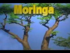 1000 Images About Moringa Movement Iaso Tea On