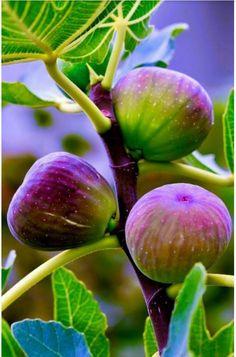 My fig tree has lots of figs ripening! L'art Du Fruit, Fruit Plants, Fruit Garden, Fruit Art, Fruit And Veg, Fruit Trees, Fresh Fruit, Fig Fruit, Ficus