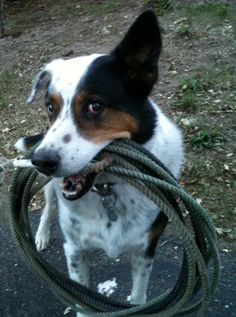 **~Platinum Performance cow dog Hank with his rope~**