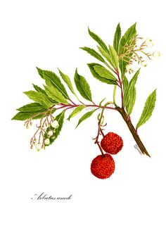 Arbutus fruit painting. I would love this as a tattoo!