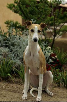 Whippet | Dog Breeds at myPetSmart.com