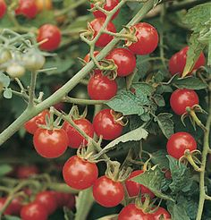"""Matt's Wild Cherry"" that, as the name implies, is a wild-type tomato that grows without supplemental irrigation."