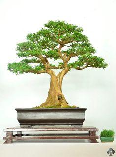 Galería Bonsái - Bonsai Empire