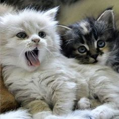 Cute kitten yawning.