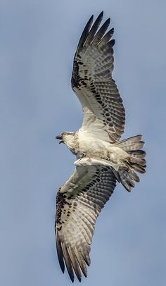 A screaming Osprey... Gold Coast, Australia Copyright Scott Osborne
