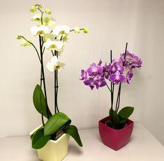 how to make an orchid rebloom - orchid rebloom how to make + how to make an orchid rebloom Moth Orchid, Orchid Care, Stone Landscaping, Garden Landscaping, Garden Online, Gardening Magazines, Low Maintenance Garden, Potting Soil, Garden Stones