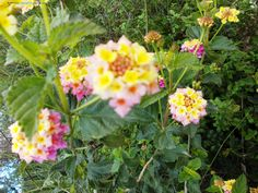 Flowers of Jerusalem