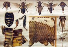 This chart, from a series produced by Otto Schmeil. Depicts several types of bees, details aspects of their anatomy, and provides cross-section views of the structure and functions of the nest. In his writings on biology education Schmeil emphasized the importance of illustrating living organisms in a comprehensive way so that students learn not just external structure or taxonomical classification of the plant/animal, but their interior structure, environment, life processes.