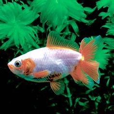 Fantail Goldfish for Sale - AquariumFish.net | Water Life ...