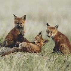 Red Fox Cubs by Scott Copeland