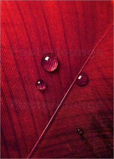 Poster / Leinwandbild Rote Feder Nahaufnahme - ANOWI