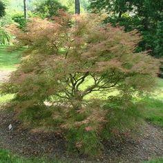 Acer palmatum 'Baldsmith' Baldsmith Japanese Maple from Prides Corner Farms