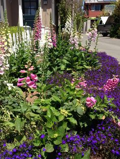 Foxgloves lining a drive way