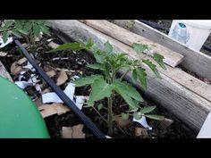 Azi am fertilizat roșiile din solar cu soluție de drojdie Organic Fertilizer, Solar, Health, Gardening, Agriculture, Plant, Lawn And Garden, Ideas, Health Care