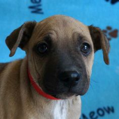 My name is River! I am a female #Sharpei #Terrier blend #puppy with a waggly tail and a sweet personality. I love people and other #dogs! #Adopt me at Helen Woodward Animal Center, in #SanDiego.