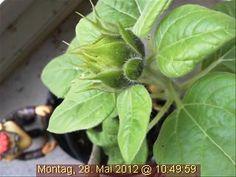 War einen Tag offline, ist aber noch nicht erblüht: die wundervolle Webcam-Sonnenblume.