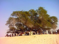 Tree of Life - Bahrain. 400 years old. It stands alone in a barren desert in highest point in Bahrain.  Some people feel it is actual location of Garden of Eden.