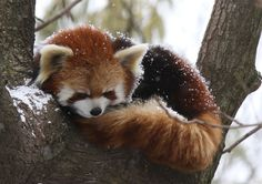 They also use that bushy lil tail as a blanket in the winter time to help keep them warm. CUTEST ANIMAL TRAIT EVER. | 17 Reasons Red Pandas Are Earth-Shatteringly Cute