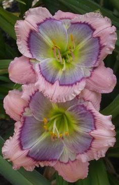 "~""Hummingbird's Delight"" Daylily Light:Sun,Part Sun Zones:3-10 Plant Type:Perennial Plant Height:6 inches to 4 feet tall Plant Width:1-3 feet wide Landscape Uses:Containers,Beds  Borders,Privacy,Slopes,Groundcover Special Features: Flowers,Fragrant,Drought Tolerant,Easy to Grow"