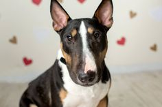 Our handsome Grendel is 17 months old, very dog friendly but needs to be with bigger dogs. He is completely vetted, needs bully experienced owners & is being fostered in South Carolina. For more info on Grendal & all of our available dogs visit our website at www.RCBTR.org
