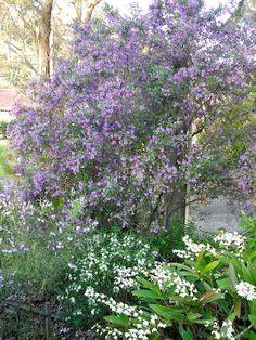 Prostanthera ovalifolia Rosea Screen Plants, Australian Plants, Evergreen Shrubs, Types Of Soil, Fast Growing, Purple Flowers, Frost, Bloom, Trees