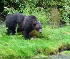 We saw a bear eat her breakfast at the Fish Creek Wildlife Viewing Center in Hyder, Alaska.
