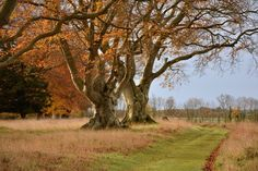 The 200 year old beech trees on King Barrow Ridge in the Stonehenge landscape - National Trust