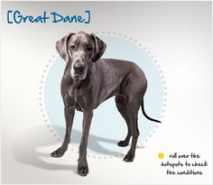 Did you know the Great Dane originated from the Irish Wolfhound and the Old English Mastiff and was developed in Germany to hunt boar? Read more about this breed by visiting Petplan pet insurance's Condition Checker!