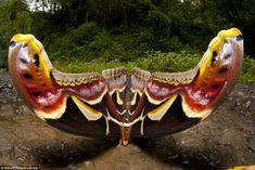 A mariposa atlas, ou atlas-gigante - Attacus atlas