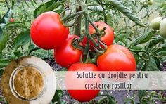 Soluție cu drojdie pentru roșii mari și sănătoase | LaTAIFAS Chicken Dips, Dip Recipes, Lawn And Garden, Backyard, Organic, Fruit, Vegetables, Food, Anna
